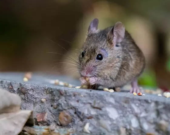 Apart from the Hantavirus, these are 7 diseases that are caused by rats